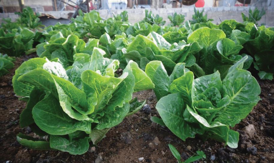 Μαρούλια από τους κήπους της Ελπίδας στη Συρία. Το Πελίτι συμμετέχει από τον Αύγουστο του 2014 στο Δίκτυο «15ος Κήπος» με σκοπό τη δημιουργία στη Συρία κήπων με παραδοσιακές ποικιλίες και την εκπαίδευση των Σύριων στην αυτάρκεια των σπόρων και της τροφής τους
